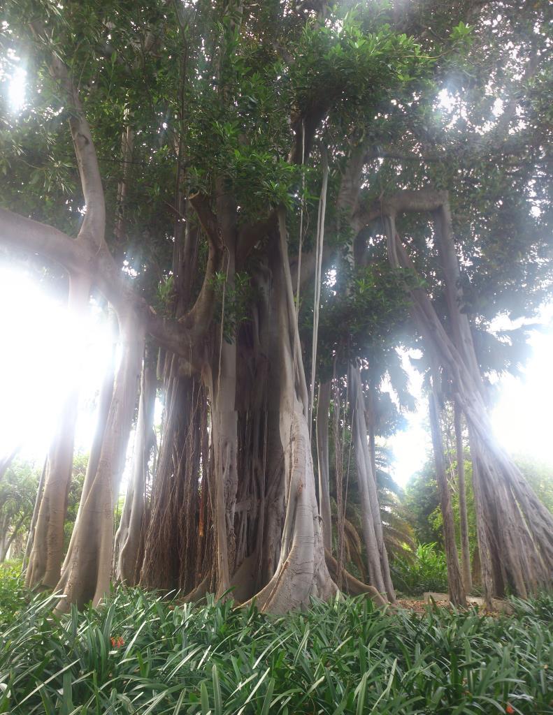 Ficus Marcrophylla, Botaniska trädgården Puerto de la Cruz